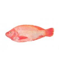 Carton poisson tilapia rouge écaillé vidé congelé NUMBER ONE 4kg