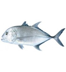 Carton de carangues TREVALLY 10kg